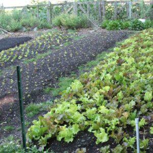 lettuce beds at City Farm